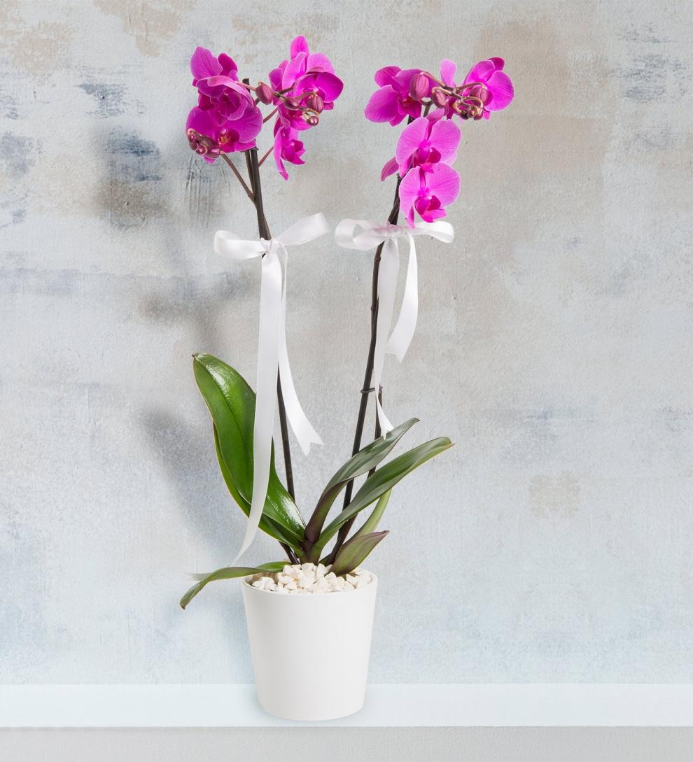 Seramik vazoda iki dallı mor orkide