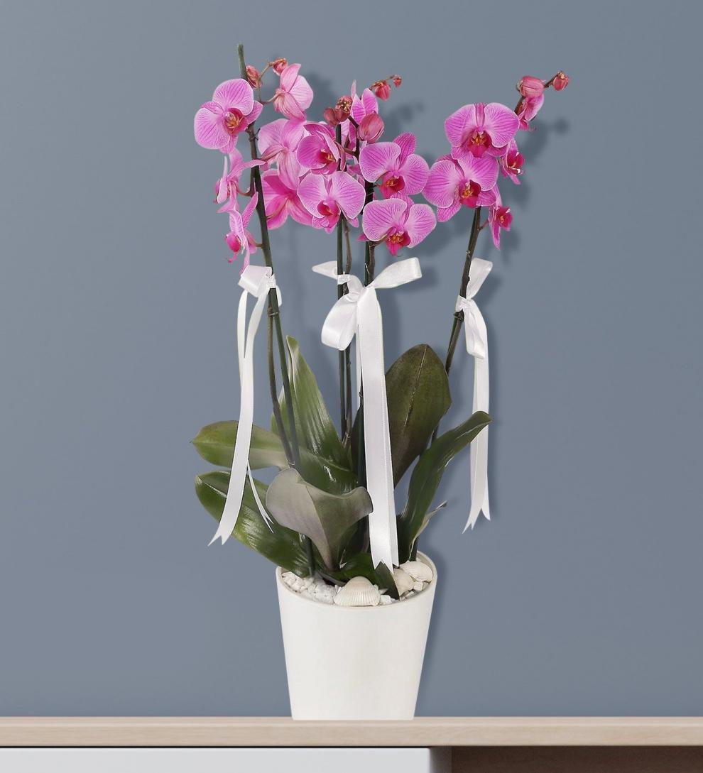 4 dallı mor orkide