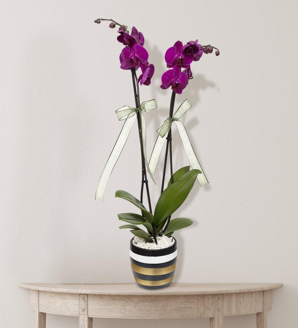 Çizgili vazoda 2 dallı mor orkide