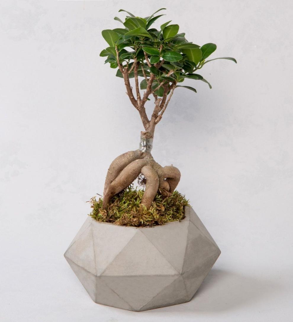 Taş saksı içerisinde ficus ginseng bonsai