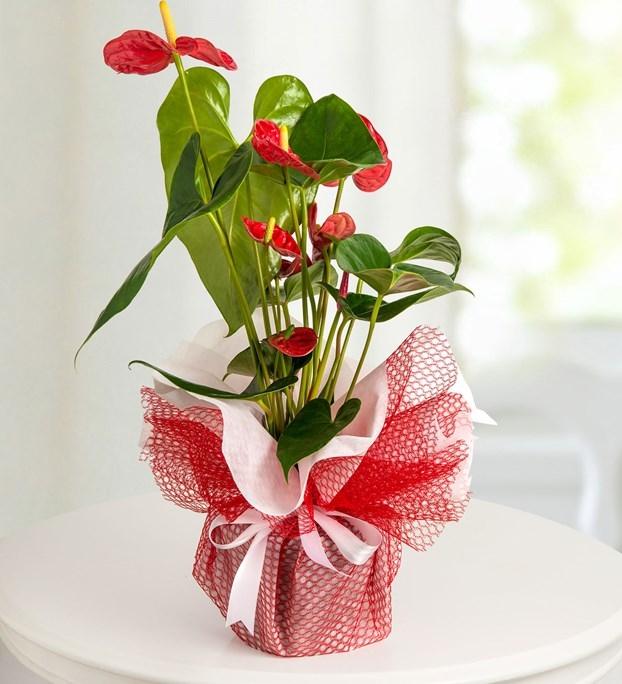 Antoryum Saksı Çiçeği (büyük boy)